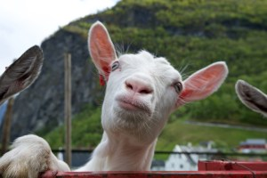 Happy goat from Undredal