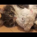 ぬいぐるみが好きな猫さん