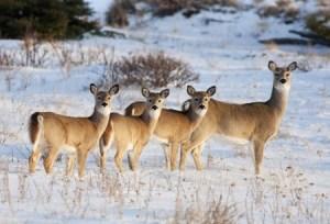 Kardeborre godkjent av hjortedyrene