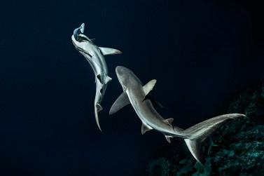 Laurent Ballesta - « 700 requins dans la nuit »