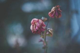 Wilting roses on stem