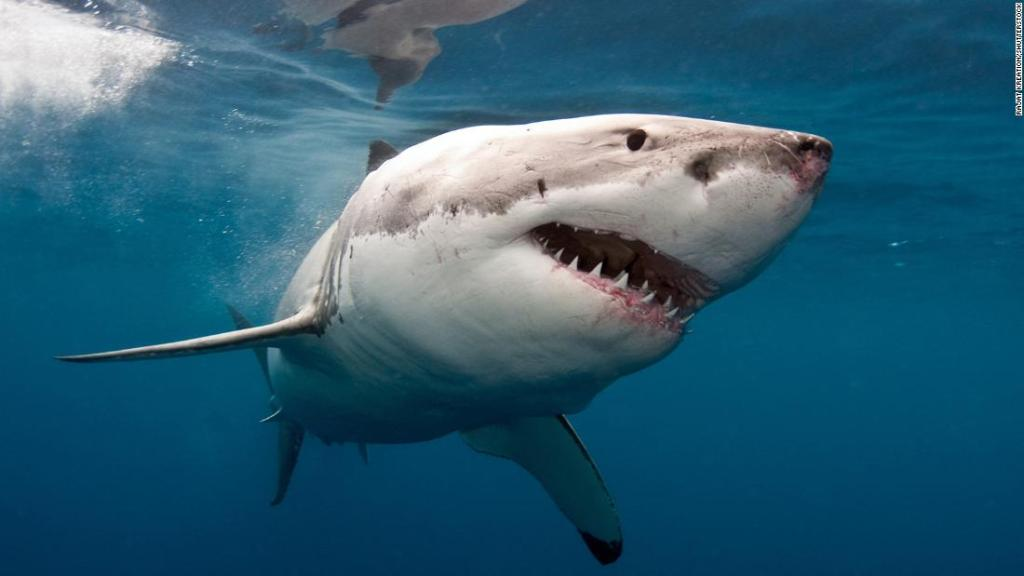 A man punched a great white shark to save a surfer being attacked