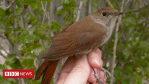 Climate change clips the nightingale's wings