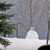Big Snowy Owl Photo Credit: Karen Lindsey