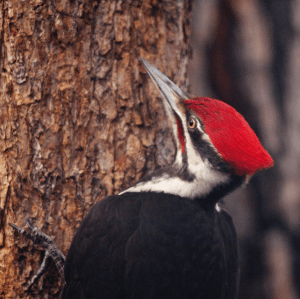 Pileated Woodpecker Photo Credit: John Winnie