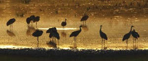 Sandhill Crane silhouette Photo Credit: Dick Walker