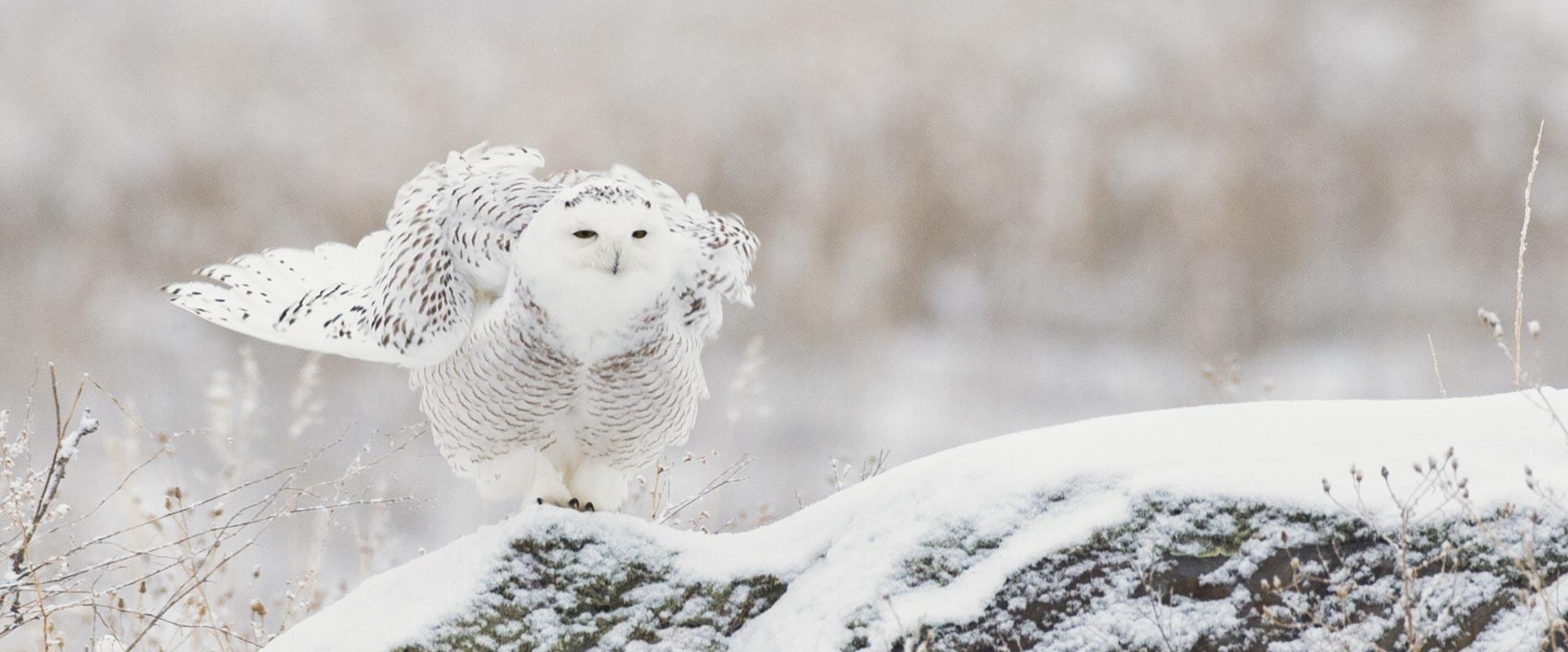 Snowy Owl Buffetting Wind Flathead Audubon Society