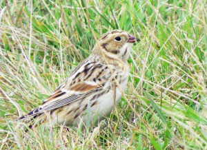 Lapland Longspur Photo Credit: Shawn Richmond
