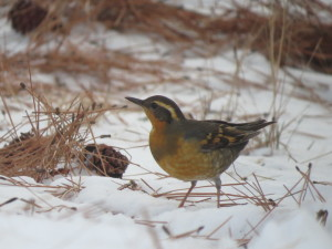 Varied Thrush Photo Credit: Will Young
