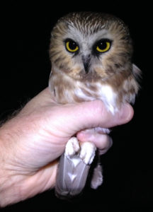 Northern Saw-whet Owl in Hand - Photo Credit: Marco Restani
