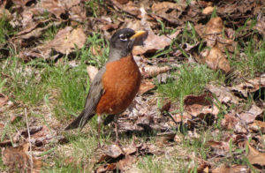 American Robin - Photo Credit: Steve Gniadek