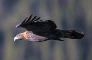 Golden Eagle - Photo Credit: BJ Worth