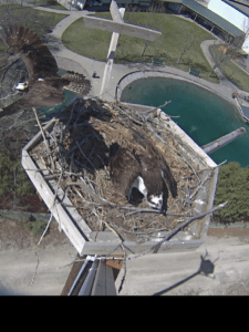 Snappy's Ospreys building nest - Photo Courtesy of Snappy's Sport Center