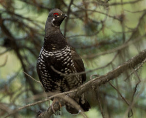 Spruce Grouse - Adult Male - Photo Credit: Jake Bramante