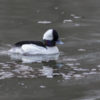Bufflehead - Photo Credit: Dick Walker