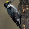 Black-backed Woodpecker on Fire-killed Tree - Photo Credit: Audubon