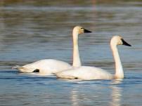 Tundra_Swan_The bird guide