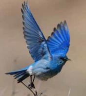 mtbluebird-birding guide
