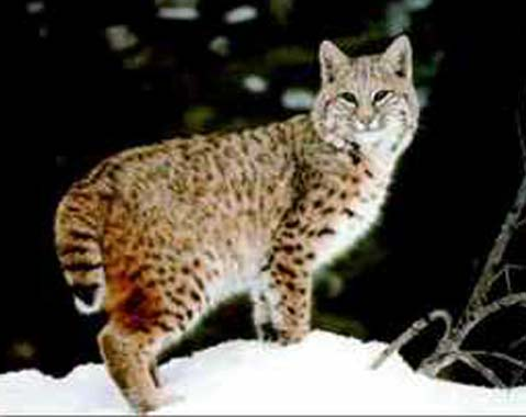 Bobcats, while pretty freakin awesome and known to roam CT, dont exactly fit the description of the fearsome Glawackus.