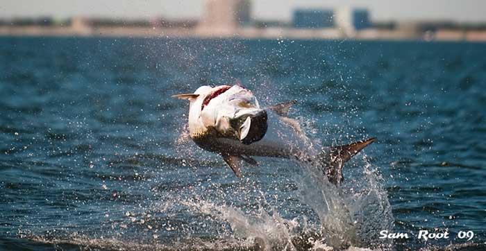 tampa tarpon fishing charters tarpon hooked up