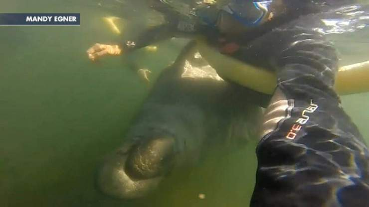When Manatees Attack