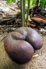 coco-de-mer-seychelles-04