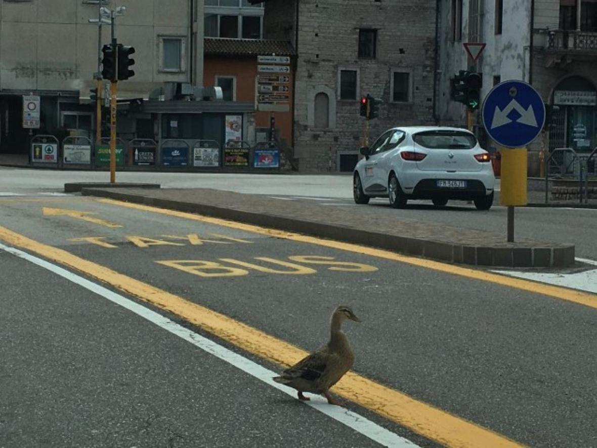 Duck in Malcesine