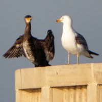 Ostia - Seagulls and Cormorants