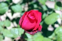 Rose at Jardín Miramar (BCN)