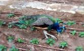 Peacock at President's Park in Malta