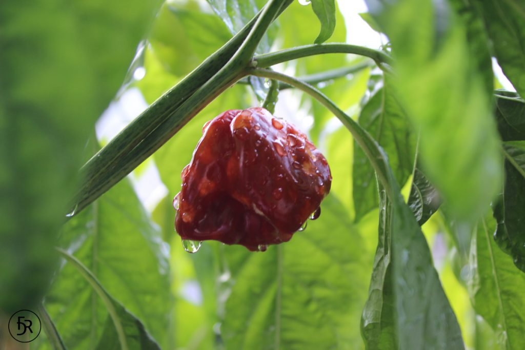 Trinidad Scorpion Moruga Chili