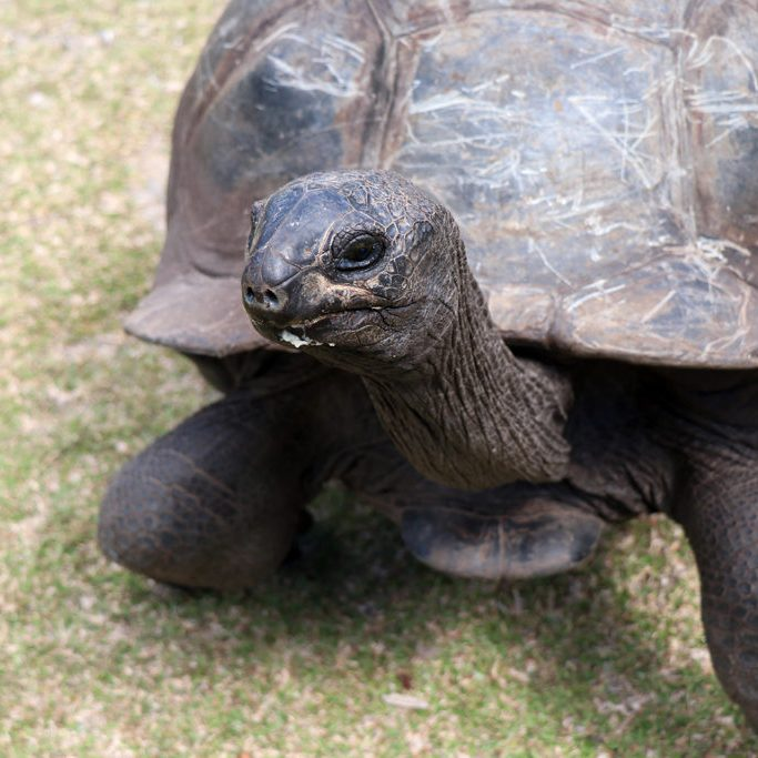 Aldabra Giant Tortoise on Curieuse, Seychelles