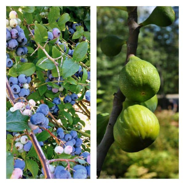 Blueberries on the bush and figs on the tree