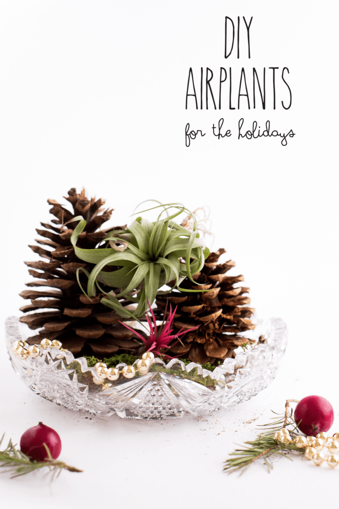 airplants for the holidays
