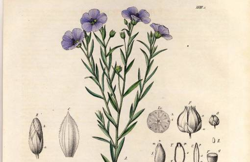 Linseed plant, Linum usitatissimum