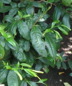 Camellia_sinensis_-_tea_-_plant