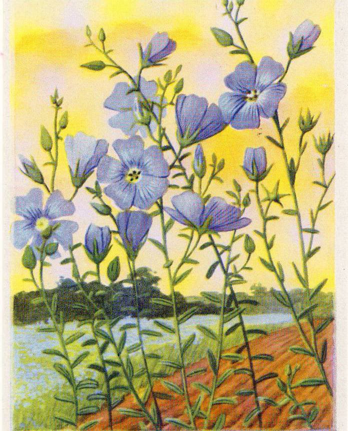 Lin, linseed or flax from a French chocolate card