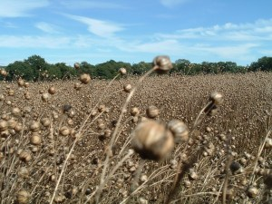 Field of ripe linseed and seedheads