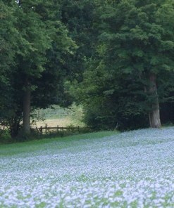 Linseed in full flower