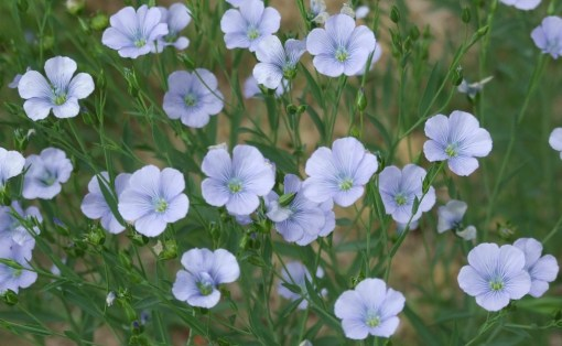 flax-linseed-blue-flowers