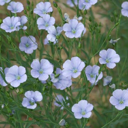 linseed flowers