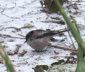 Long-tailed tit on the linseed winter booster