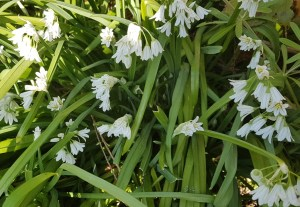 Three cornered leek, Allium triquetrum an alternative to wild garlic