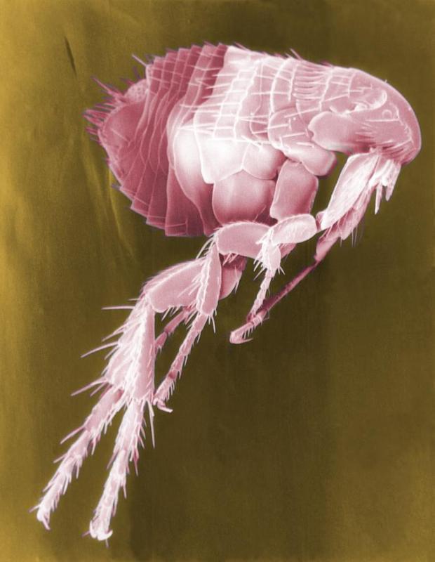 Magnified Flea bug