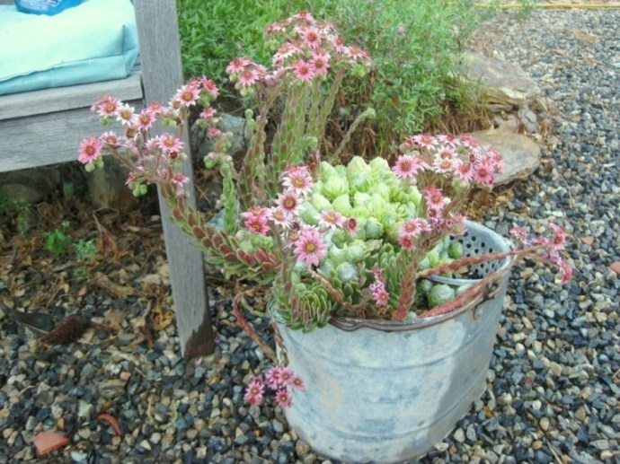 Sempervivum arachnoideum Hens and Chicks 'Cebenese' in an old bucket