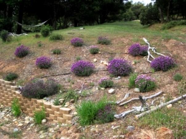 Lavender in full bloom in the gravely soil