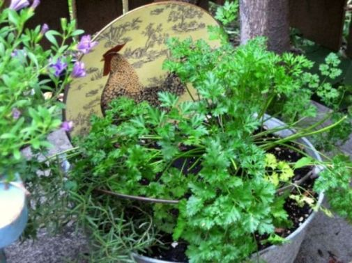Parsley looks great in galvanized...