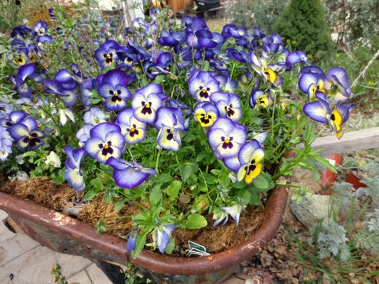 Violas,...'Blueberry Thrill' ..thrilled me all winter