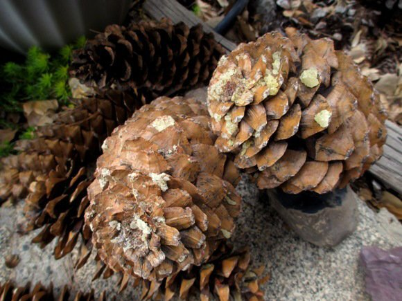 No one likes sap when handling pine cones