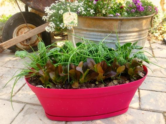 U0027Cut And Come Againu0027 Salad Garden In A Pot. U0027